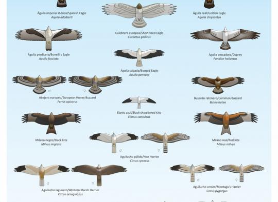 Silueta de rapaces - Ornitología