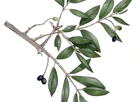 Ilustraciones botánicas - Acebuche