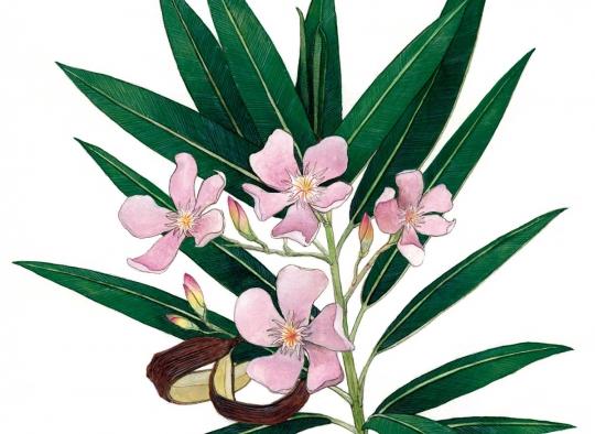 Ilustraciones botánicas - Adelfa