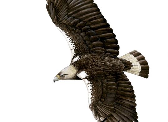 Águila imperial en vuelo - Ornitología