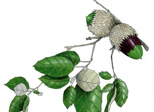 Ilustraciones botánicas - Alcornoque