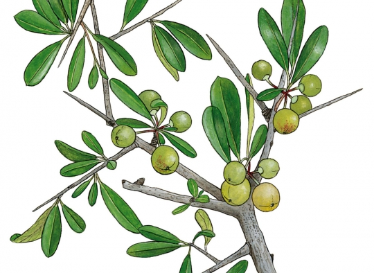 Ilustraciones botánicas - Espino negro