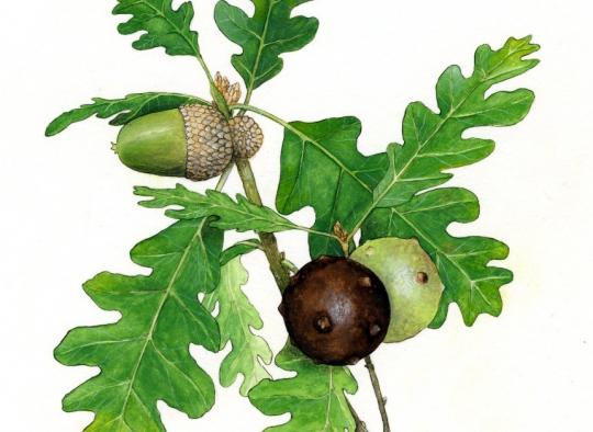 Ilustraciones botánicas - Melojo
