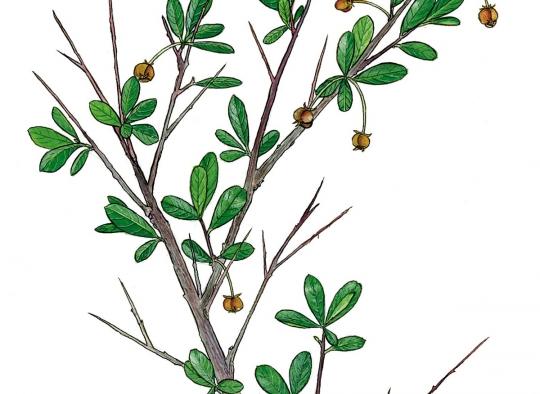 Ilustraciones botánicas - Tamujo